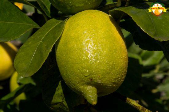 Image sur 2kg de Citrons de Sicile